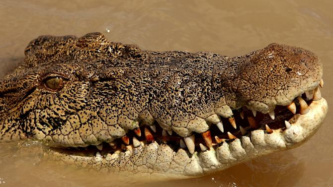 An estuarine crocodile in the Adelaide river near Darwin in Australia's Northern Territory on September 2, 2008