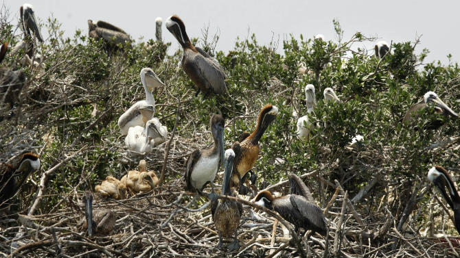FILE - In this May 23, 2010 file photo, oil stained pelicans and baby pelicans are seen on Cat Island, an island that is home to hundreds of brown pelican nests as well at terns, gulls and roseate spoonbills, while it is impacted by oil from the Deepwater Horizon Oil Spill just inside the the coast of Lousiana. (AP Photo/Gerald Herbert, File)