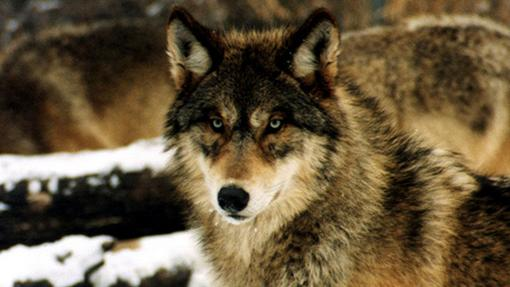 Eastern Wolves Deemed Separate Species