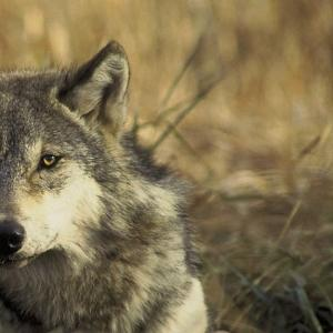 Gray Wolves May Lose Endangered Status, But Not Without a Fight
