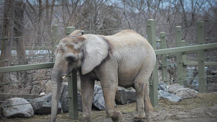 In this image taken on April 5, 2011 provided by PAWS/Zoocheck Canada, an African elephant, Iringa, 42, is shown in the Toronto Zoo in Toronto, Canada. Iringa is being retired from the zoo after 37 years, and will be flown on Aug. 2, 2012 to PAWS' 2,300-acre sanctuary in San Andreas, Calif. (AP Photo/PAWS/Zoocheck Canada, Jo-Anne McArthur)