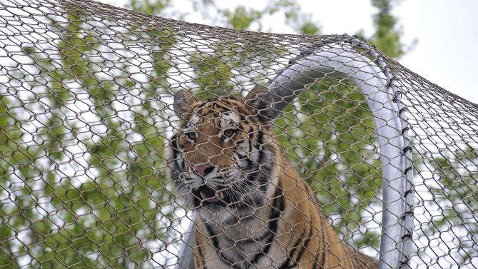 An Amur Tiger walks over the new Big Cat Crossing at the Philadelphia Zoo in Philadelphia