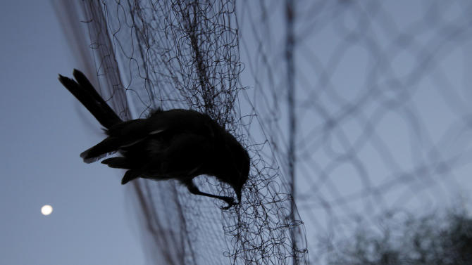 In this Nov. 3, 2012 photo, a bird is entangled in a net used by poachers to trap migrating songbirds in the early morning in the Larnaca district of Cyprus. Small birds, called ambelopoulia in Greek, are considered a delicacy in Cyprus andpoachers supply a lucrative market.Amid an economiccrisis thathas seen unemployment hit recordlevels on the east Mediterranean island,jobless people are turning to poaching to help them make ends meet.(AP Photo/Petros Karadjias)