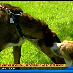 Daniya the dog out of hospital, recovering at foster home