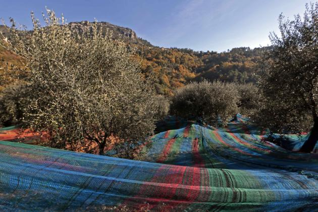 Multi-coloured nets used to harvest olives are spread out under olive trees near the village of Castagniers, north of Nice