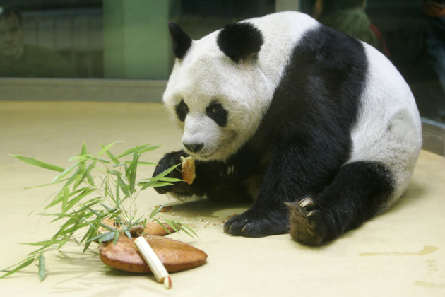 FILE - In this Nov. 4, 2005 file photo panda Bao Bao eats a cake he received for his 25th anniversary at the Berlin zoo in Berlin, Germany. The Berlin zoo says Wednesday, Aug. 22, 2012, Bao Bao, who was given to West Germany by China in 1980 and was one of the world's oldest giant pandas, has died. The zoo said the 34-year-old bear died early Wednesday in his enclosure after his health deteriorated over the last several months. (AP Photo/Franka Bruns File)