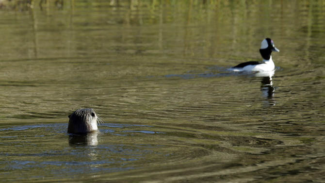 A river otter, left, eyes a bird Thursday, Jan. 3, 2013, in San Francisco. For the first time in decades, a river otter has made San Francisco its home, taking up residence in the ruins of the Sutro baths, a 19th century seaside pond facing the Pacific Ocean. (AP Photo/Ben Margot)