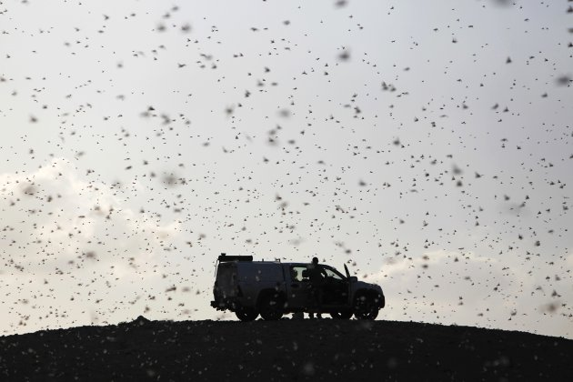 Locusts fly near a car belonging to experts as they map the swarms of locusts near Kmehin in Israel's Negev desert