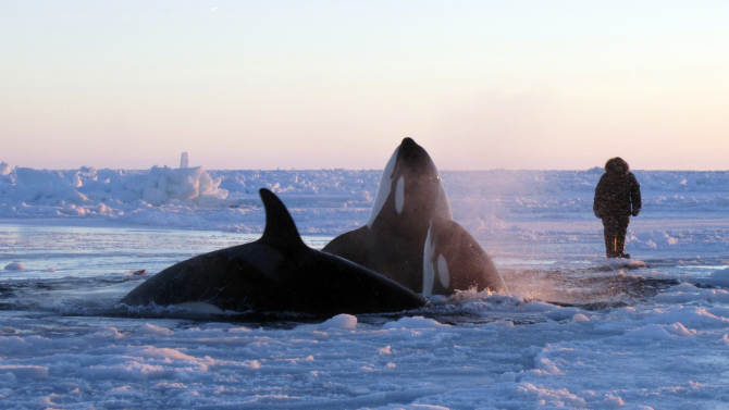 In this Tuesday, Jan. 8, 2013 photo provided by Marina Lacasse, killer whales surface through a small hole in the ice near Inukjuak, in Northern Quebec. Mayor Peter Inukpuk urged the Canadian government Wednesday to send an icebreaker as soon as possible to crack open the ice and help the pod of about a dozen orcas find open water. The Department of Fisheries and Oceans said it is sending officials to assess the situation. (AP Photo/The Canadian Press, Marina Lacasse) MANDATORY CREDIT