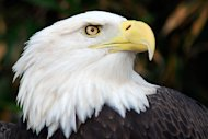 Bald eagle. (Photo courtesy of flickr.com/photos/epw.)