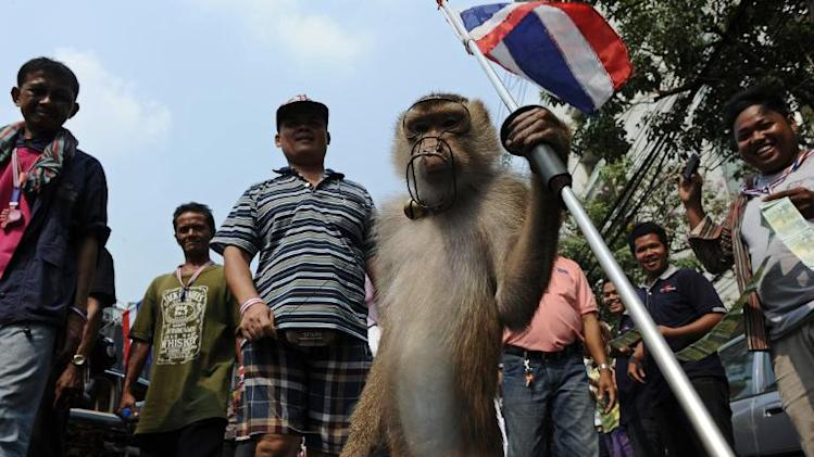 A monkey holds a national flag during an anti-government march in Bangkok, on February 10, 2014