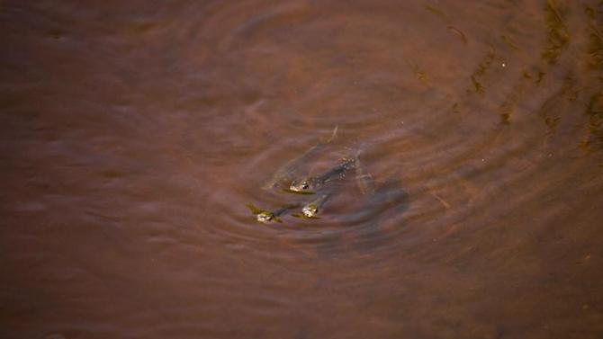 Minnows swim in oily water after oil from Deepwater Horizon spill seeped into marsh in Waveland