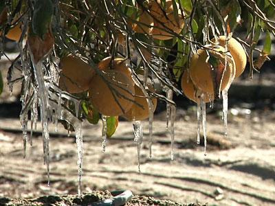 Calif. Cold Snap Hurting Citrus Growers
