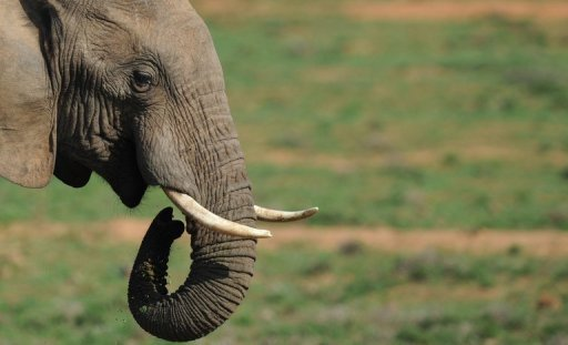 <p>An elephant is pictured at Addo Elephant National Park in the Eastern Cape region of South Africa, near Port Elizabeth, on July 9. Botswana, one of Africa's premier safari destinations, said Thursday it will ban commercial hunting of wildlife because of a decline in animal populations.</p>