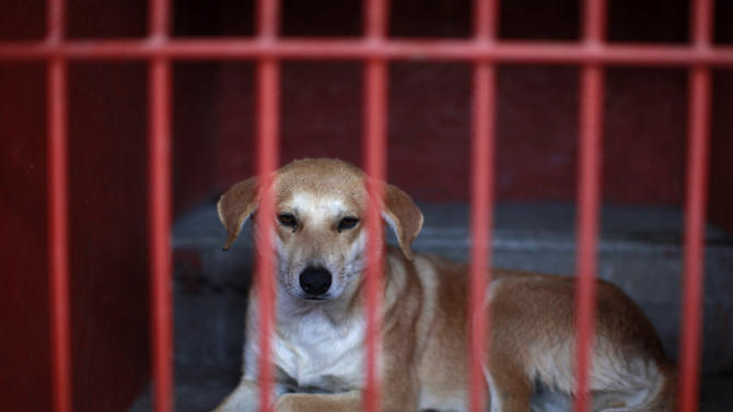 One of the dogs that was caught near the site of four fatal maulings sits inside a cage at a city dog pound in Mexico City, Wednesday, Jan. 9, 2013. Authorities have captured dozens of dogs near the scene of the attacks in the capital's poor Iztapalapa district, but rather than calm residents, photos of the forlorn dogs brought a wave of sympathy for the animals, doubts about their involvement in the killings and debate about government handling of the stray dog problem. (AP Photo/Dario Lopez-Mills)