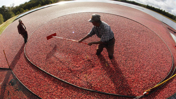 FILE - In this Oct. 4, 2011, file photo Miguel Sandel of Middleborough, Mass., rakes cranberries into a loading tube during an afternoon harvest at the Hannula cranberry bogs in Carver, Mass. The growers associations for Massachusetts and Wisconsin said Monday, May 6, 2013, that cranberry farmers who spent millions of dollars to replant and expand bogs are facing a financial crisis after a huge harvest in Canada flooded the market and sent prices plummeting. (AP Photo/Charles Krupa, File)