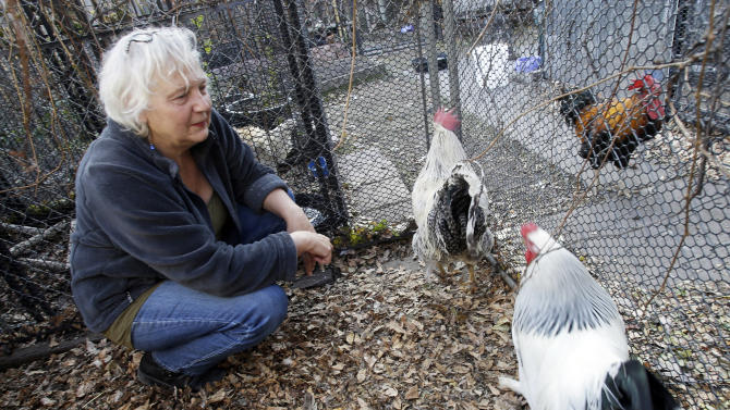 Urban hens often abandoned once egg-laying ends