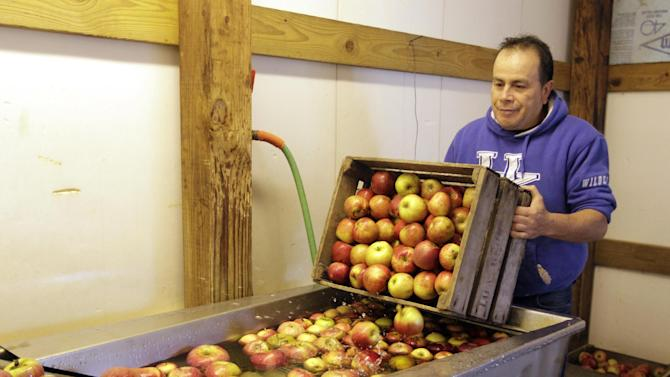 Andre Moralais dumps a crate of apples into the cleaning solution at the start of the cider making line at the Tuttle Orchards, in Greenfield, Ind., Monday, Oct. 8, 2012. The orchard canceled public apple-picking this year after a series of sub-freezing nights zapped apple blossoms lured into early bloom by unusually warm March weather.  (AP Photo/Michael Conroy)