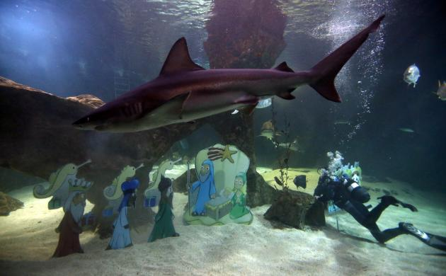 A diver sets up a Nativity scene as a sandbar shark swims past in the Aquarium area of Madrid's Zoo