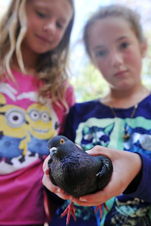 Tara Atkins holds her pet pigeon, Foresta, Wednesday May 21, 2014 at her friend Lily Templeton's house in Helena, Mont. The bird had disappeared Tuesday from Tara's home in the Elkhorn Mountains near Montana City. But it was back in her arms on Wednesday after it showed up at her school about 5 air miles away in Helena. The bird sat on the head of Central-Linc Elementary teacher Rob Freistadt. Principal Vanessa Nasset asked Tara for help catching Foresta after a parent remembered she had a pet pigeon. (AP Photo/The Independent Record, Eliza Wiley)