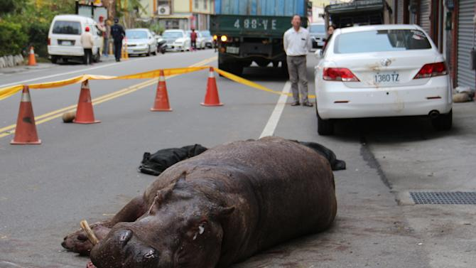 An injured hippo lies on the ground after it jumped from a truck in Miaoli county, Taiwan, while being transported to a farm
