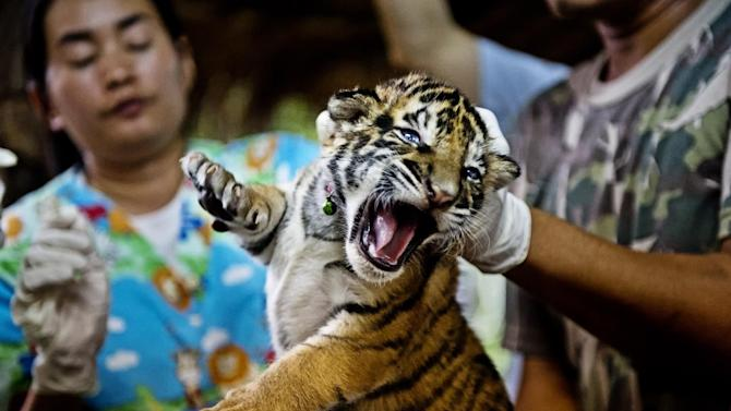 IMAGE DISTRIBUTED FOR WWF-Canon - One of 16 tiger cubs seized from smugglers on Friday, Oct. 26, 2012, in Chaiyaphum, Thailand. A  veterinary team from a wildlife forensic unit is taking blood samples to trace the tigerÕs DNA. It is believed that this cub was reared in an illegal tiger farm in Thailand and destined for China. Perceived by organized criminals to be high profit and low risk, the illicit trade in wildlife is worth at least US$ 19 billion per year, making it the fourth largest illegal global trade after narcotics, counterfeiting, and human trafficking, according to a new report commissioned by WWF. Besides driving many endangered species towards extinction, illegal wildlife trade strengthens criminal networks, undermines national security, and poses increasing risks to global health, according to the WWF report, Fighting illicit wildlife trafficking: A consultation with governments, which will be unveiled today at a briefing for United Nations ambassadors in New York. (WWF-Canon/James Morgan via AP Images)