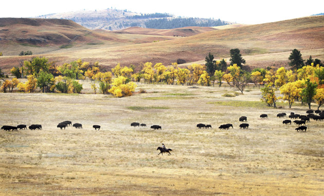 More than 1,000 buffalo thunder across the prairie land Monday, Sept. 24, 2012, during the 47th annual Buffalo Roundup in western South Dakota's Custer State Park. Event organizers estimate that more