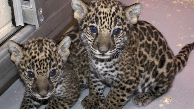 This Dec. 16, 2012 photo shows two baby jaguar cubs born at the Milwaukee County Zoo in November. Jaguars are an endangered species.  Stacy Johnson, coordinator of the jaguar species survival plan for the American Zoo and Aquarium Association, said heir birth was a big deal because their father was born in the wild and brings new genes to zoos. (AP Photo/Milwaukee County Zoo)