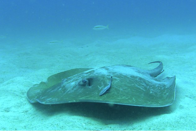 A huge stingray takes a break at the sandy bed of the seas around Pulau Redang, Malaysia.
