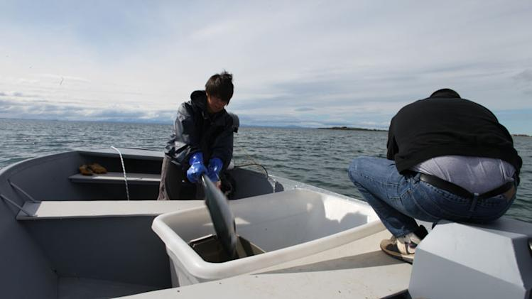 Native Alaskan Kirsty Coghill clearing her fishing net of salmon on Lake Iliamna.