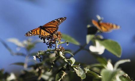 Environmental group sues U.S. EPA over monarch butterfly demise