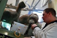 Orangutans watch a video on an iPad held up to the glass of their enclosure by a volunteer at the Milwaukee County Zoo. The zoo has been using iPads as enrichment tools for its three orangutan for nearly a year now and are retrofiting their building with wifi so the playful primates can soon have &#39;playdates&#39; with orangutans at other zoos using livestreaming video applications like FaceTime