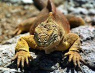 File photo of an iguana in the Galapagos Islands, Ecuador. In 1976 wild dogs wiped out a colony of around 500 of the iguanas on the island of Santa Cruz. The national park rescued around 60 survivors and launched a captive breeding program to try to revive the species
