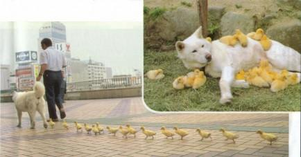 A Dog and his Chicks