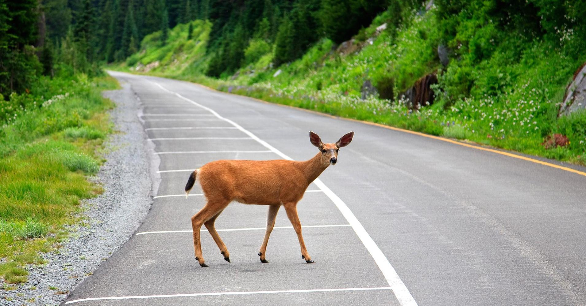 How Bambi is costing drivers $8 billion per year