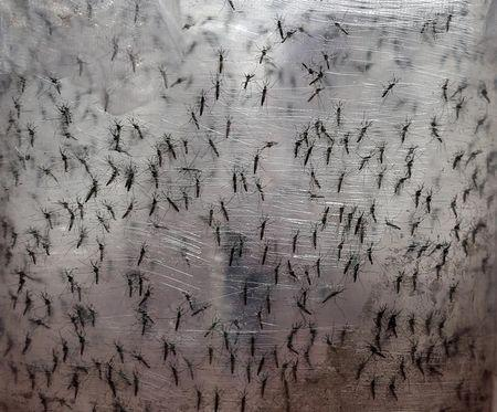 Pots with genetically modified male Aedes aegypti mosquitoes are pictured before they are released in Piracicaba, Brazil