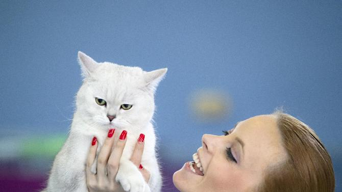 Raphael, a British Shorthair cat, is held by its owner during the judge's evaluation in Bucharest, Romani, Sunday, April 26, 2015. More than 250 cats entered the international feline beauty competition in the Romanian capital.(AP Photo/Vadim Ghirda)