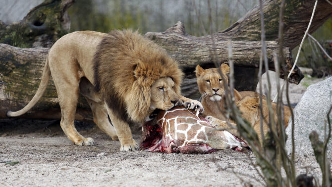 """FILE This is a Sunday, Feb. 9, 2014 file photo of the carcass of Marius, a male giraffe, as it is eaten by lions after he was put down in Copenhagen Zoo . The zoo that faced protests for killing a healthy giraffe to prevent inbreeding says it has put down four lions, including two cubs, to make room for a new male lion. Citing the """"pride's natural structure and behavior,"""" the Copenhagen Zoo said Tuesday March 25, 2014 that two old lions had been euthanized as part of a generational shift. It's not known if the lions photographed are the ones that were put down by the zoo. (AP Photo/POLFOTO, Rasmus Flindt Pedersen, File) DENMARK OUT"""