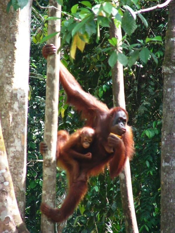 Imperiled Orangutans Need Key Forest Corridor