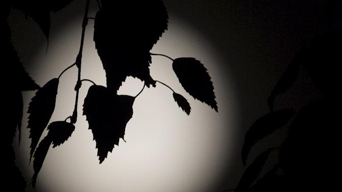 Leaves are silhouetted against a full moon, known as the Blue Moon, over north London
