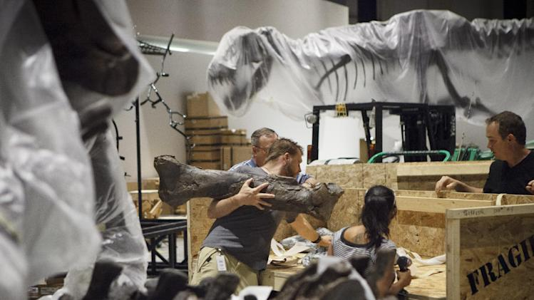 In a May 15, 2012 photo paleontologists from the Black Hills Institute of Geologic Research with the help of film industry prop artists install a T-Rex fossil skeleton in the new Hall of Paleontology at the Houston Museum of Natural Science Tuesday. The $85 million wing of the museum will have the only Triceratops skin found to date and  a unique T-rex fossil with complete hands. The exhibit opens June 2.  (AP Photo/Michael Stravato)
