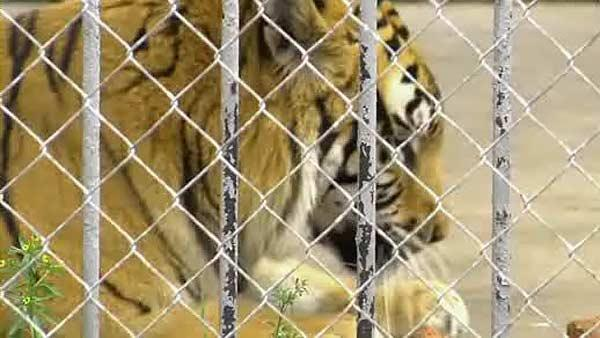 Truck stop tiger causing controversy