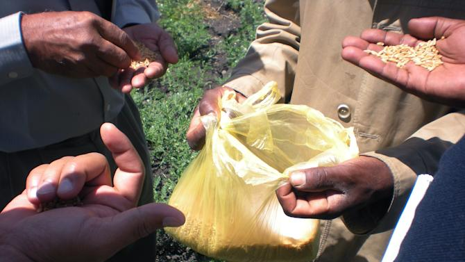 This photo taken Wednesday, Oct. 10, 2012 shows participants of a field trip in the Wheat for Food Security in Africa conference examining wheat in a plastic bag in Debre Zeit, Ethiopia. The U.N.'s Food and Agricultural Organization is marking World Food Day on Tuesday Oct. 16, 2012, a day dedicated to highlighting the importance of global food security. The FAO said hunger is declining in Asia and Latin America but is rising in Africa. One in eight people around the world goes to bed hungry every night. The International Maize and Wheat Improvement Center says that although maize has long been considered the most important cereal crop in sub-Saharan Africa, demand for wheat is growing faster than for any other food crop.  (AP Photo/Kirubel Tadesse Ayetenfisu)