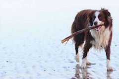 Image of Border Collie via Shutterstock