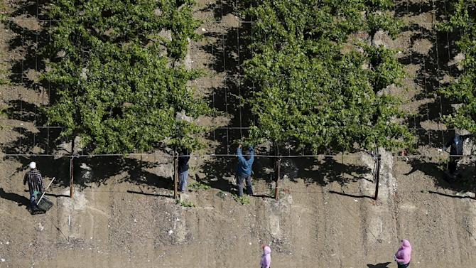 Workers pick grapes in the Central Valley