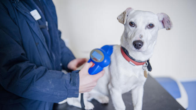 This undated photo released on Wednesday Feb. 6, 2013 by the Blue Cross shows a Jack Russell terrier being scanned for a microchip at the Blue Cross Lewknor Rehoming Centre in London. British authorities say that all dogs in England will have to be fitted with microchips from 2016. Britain's Environment Department says the chips will help reunite owners with lost or stolen pets, promote animal welfare and take pressure off shelters. (AP Photo/Martin Phelps, Blue Cross)