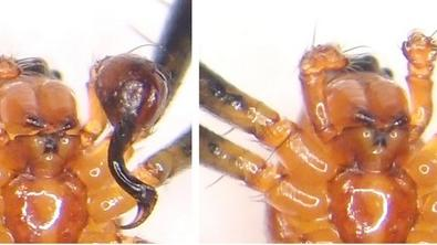Male Spider Ditches Penis, Gains Fighting Power