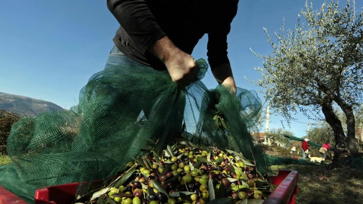 A man gathers freshly-harvested olives under olive trees near the village of Castagniers, north of Nice