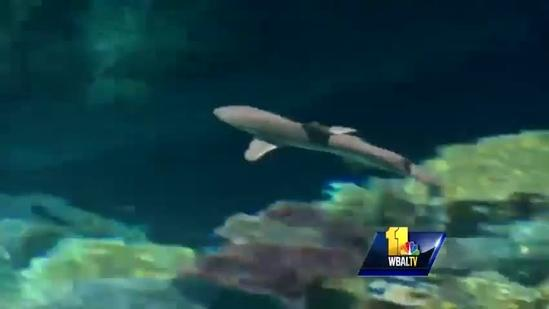 Blacktip Reef sharks added to new exhibit