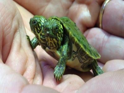 Two-headed Turtle Hatches at San Antonio Zoo